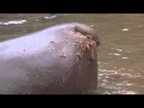 Nilpferd Rettet Nashorn