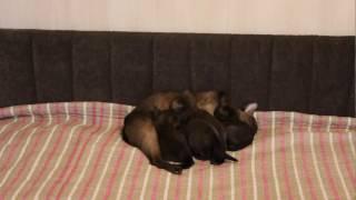 Бурманские котята питомника BLACK SABLE
