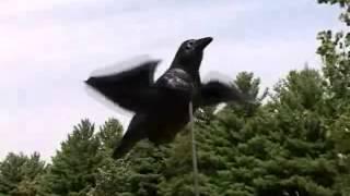 Активная приманка для охоты на ворон Air Crow(Приманка для охоты на ворон от Edge by Expedite (USA), 2012-04-25T13:04:43.000Z)