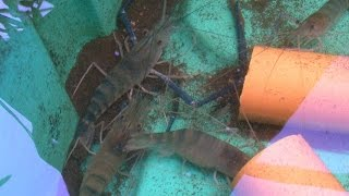 Fresh Water Prawns in Aquaponics, MADE in the  Philippines