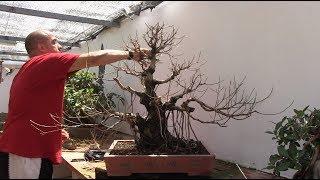 Injerto y selección de ramas de ficus retusa bonsai thumbnail