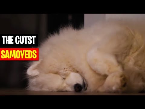 THE CUTEST SAMOYED'S IN THE WORLD - Compilation 2018 - Cute and Funny Dogs