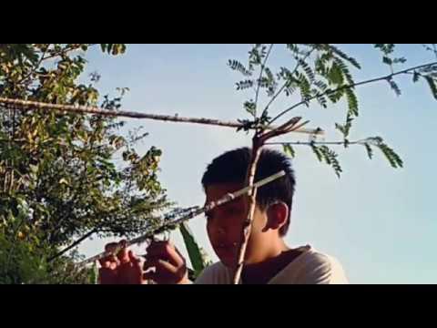 Berburu menjebak burung prenjak dengan getah pohon pakai pemikat mp3