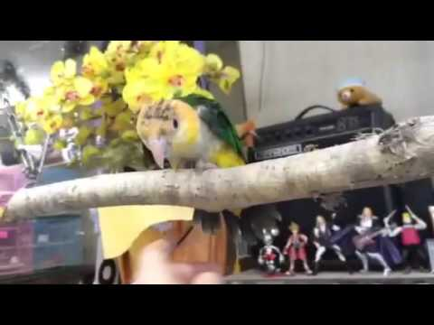 BCY's tamed Caique シロハラインコ