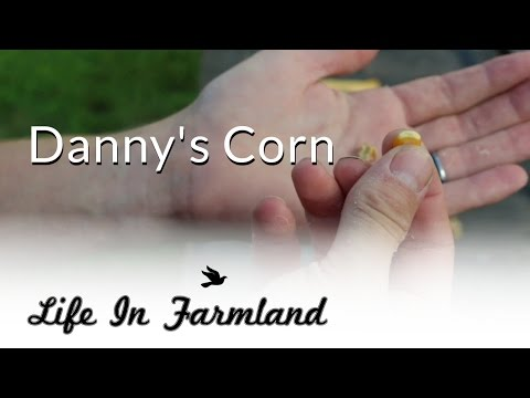 Heirloom Non GMO Field Corn Seeds - Danny's Corn