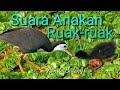 Suara Anakan Burung Ruak Ruak Cocok Untuk Suara Pikat  Mp3 - Mp4 Download