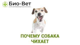 Почему Собака Чихает & Причины Чихания У Собак. Ветклиника Био-Вет