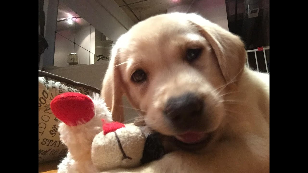 How To Get Your Labrador Puppy To Stop Biting Bite Inhibition