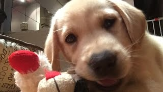 How to get your labrador puppy to stop biting - Bite Inhibition training