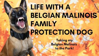 Life with a Belgian Malinois Family Protection Dog