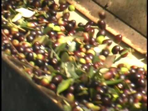 Italy olive oil production