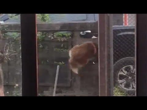 Husky Makes 'Houdini' Style Escape Through Wall