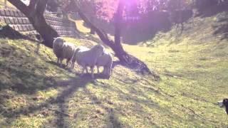 牧羊犬の血が騒ぐのか、ボーダーコリーのみくちゃん、 羊を前に強気です...