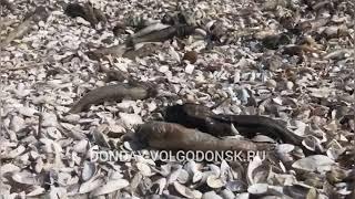 Несколько тонн мертвого бычка обнаружили на берегу Цимлянского водохранилища