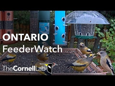 Live Boreal Birds At The Ontario FeederWatch Cam, Sponsored By Perky-Pet® | Cornell Lab
