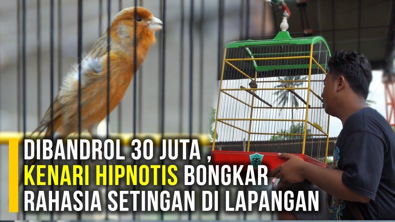 Dibandrol 30 Juta Kenari Hipnotis Bongkar Rahasia Setingan Di Lapangan By Kicau Jawara Official