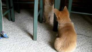 Corgi Pup Pesters the Cat