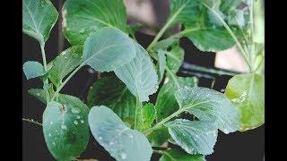 видео Когда сеять капусту на рассаду
