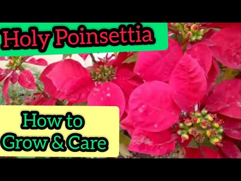 How to grow, care and propagate POINSETTIA /Christmas flowers in (Hindi /Urdu)
