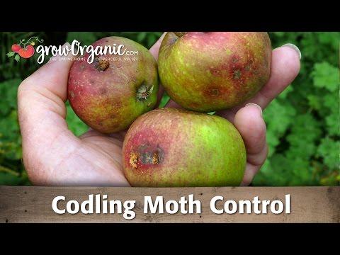 Codling moth --