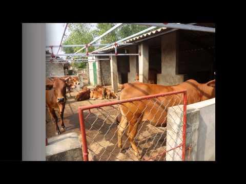 Mô hình chăn nuôi bò thịt bán chăn thả