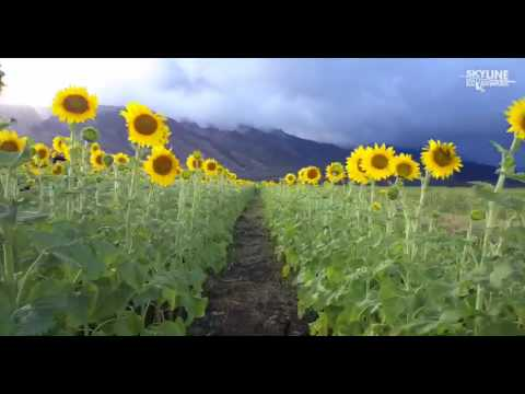Maui's Sunflower Fields