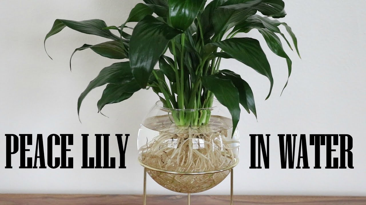 Peace lily growing in water youtube peace lily growing in water izmirmasajfo