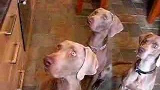 3 Weimaraner Dogs