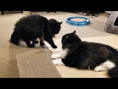 Norwegian forest cat wrestles domestic longhair cat