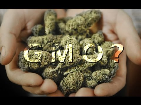 Turning Point with Sheriff Tom Allman about GMO cannabis in Mendocino