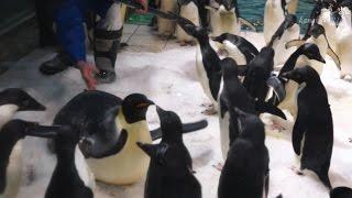 AWS 早く腹ばいになりたいアデリーペンギン達-Adelie penguin-