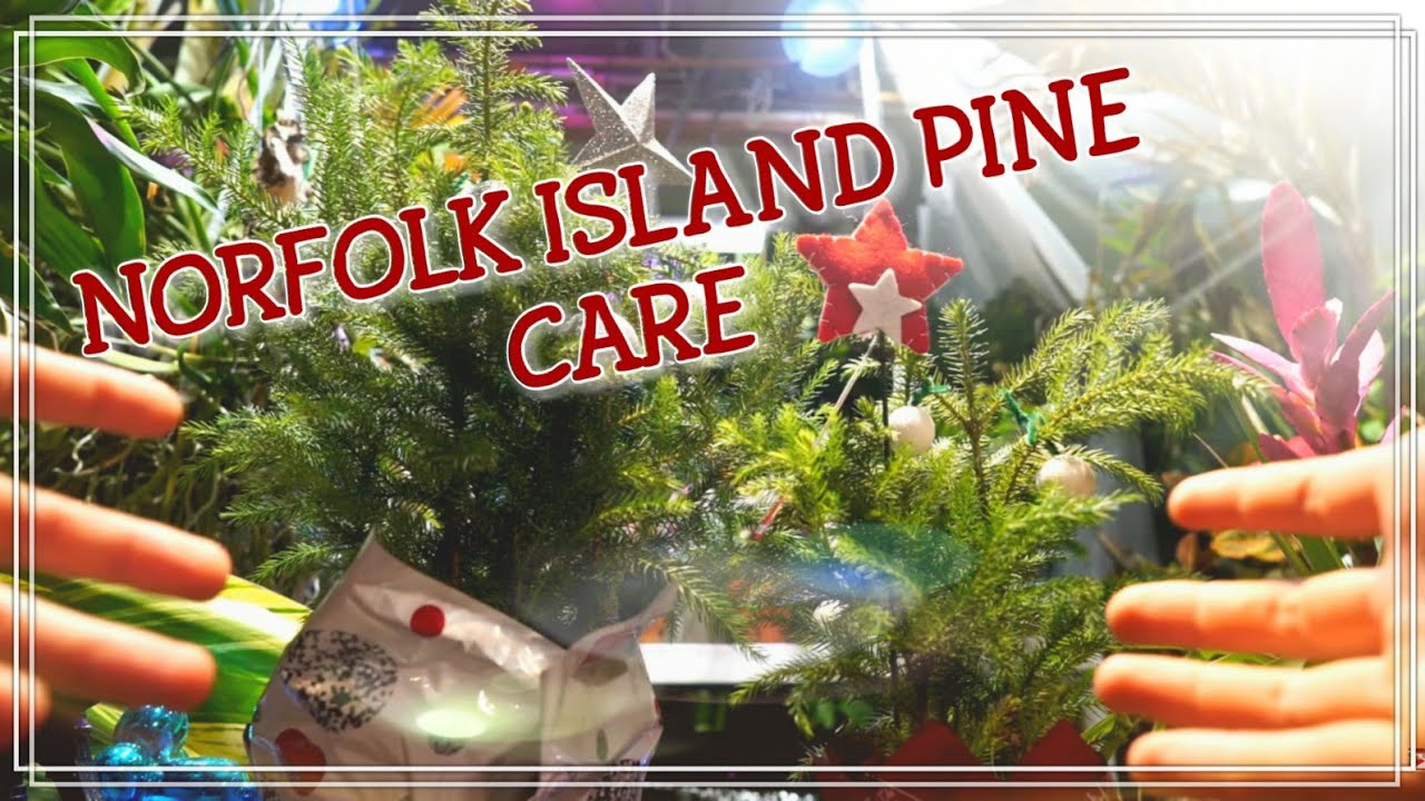 Norfolk Island Pine Tree Care on easter lily plant care, tulip plant care, asparagus fern plant care, marble queen plant care, maidenhair fern plant care, dragon tree plant care, confederate rose plant care, flowers plant care, areca palm plant care, chinese evergreen plant care, mango plant care, morning glory plant care, weeping fig plant care, boston fern plant care, jasmine plant care, trumpet vine plant care, boxwood plant care, african violet plant care, creeping fig plant care, paradise palm plant care,