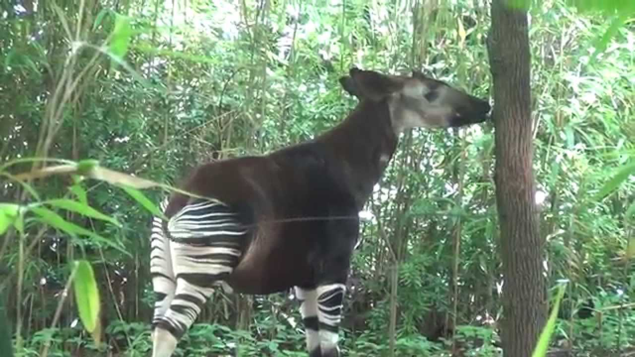 Okapi And A Baby Monkey The Bronx Zoo Congo Gorilla Forest