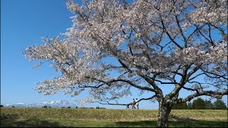 "4K [viewTV-78] 雫石川の春(岩手県) ""Sakura fubuki (a shower of cherry blossoms)"""