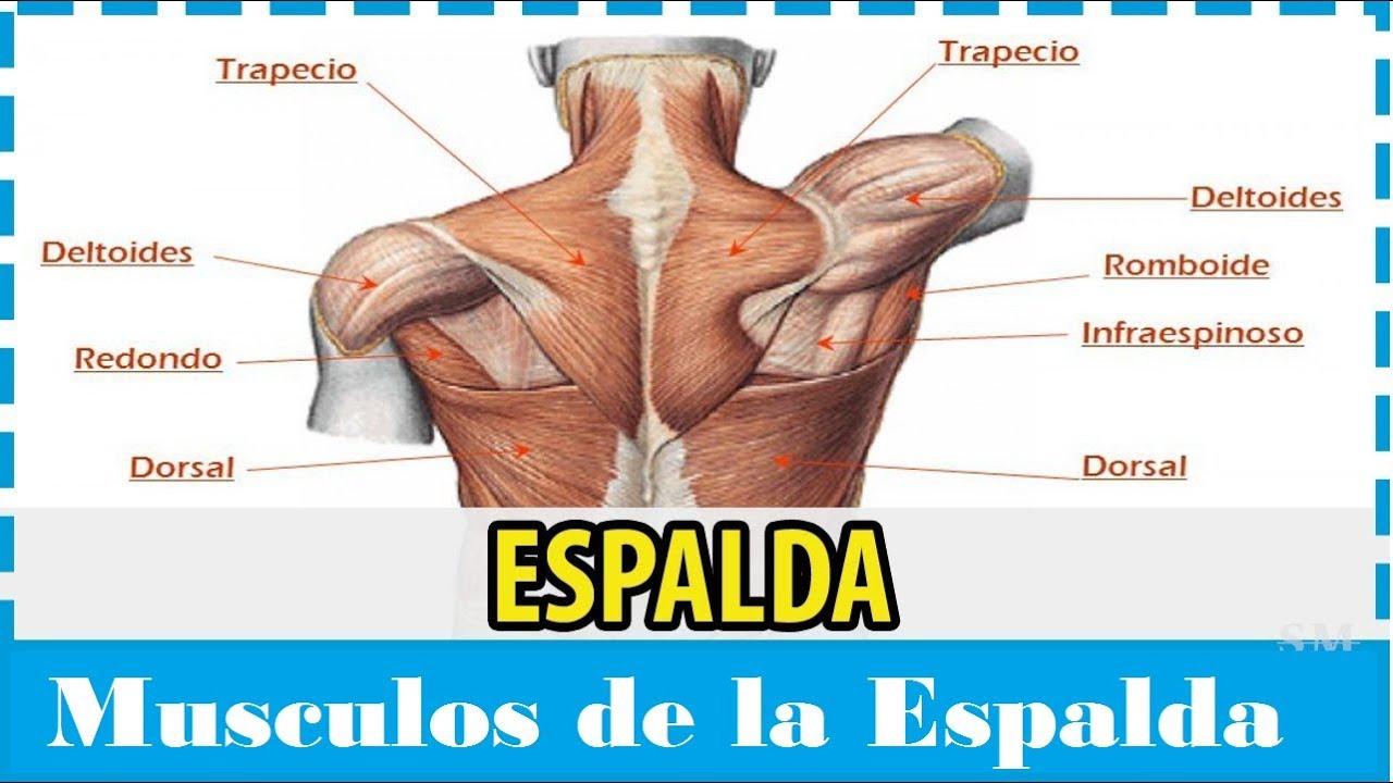 Animación sobre la anatomía de los músculos de la espalda - YouTube