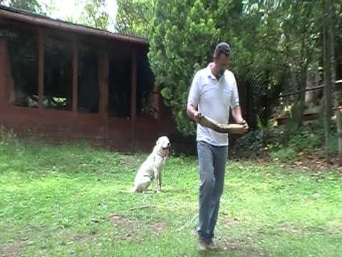 "Dogo Argentino ""Aragon"" Addestramento Cani"