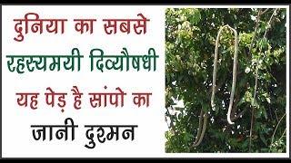 इस पेड़ पर लगते है सांपो की तरह फल यह पेड़ है सांपो का जानी दुश्मन
