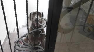 ドイツ原産の大型の狩猟犬の犬種である。ヴァイマル地方で19世紀初めに...