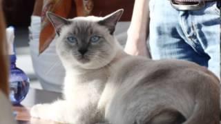 История тайской кошки