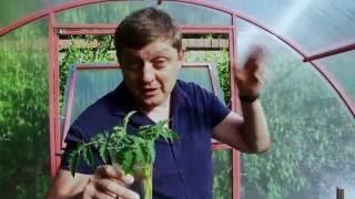 Пасынкование высокорослых помидоров в теплице(Редактор газеты