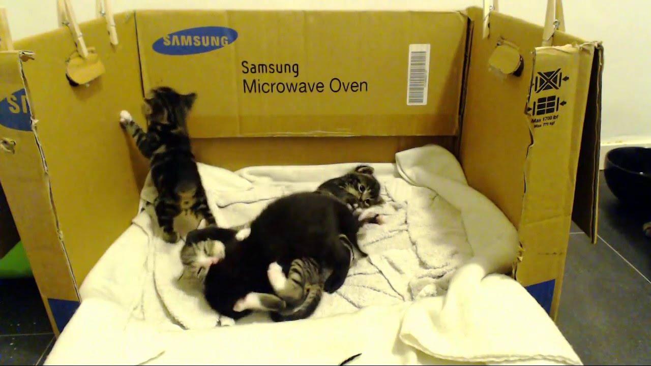 Battle Royale Kittencam 24 7 kitten live stream