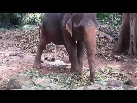 Какающий слон