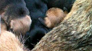 Border Terrier Puppies - 4 Weeks Old (3)