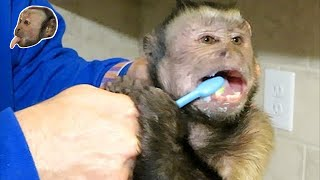 Monkey Gets Teeth Brushed!