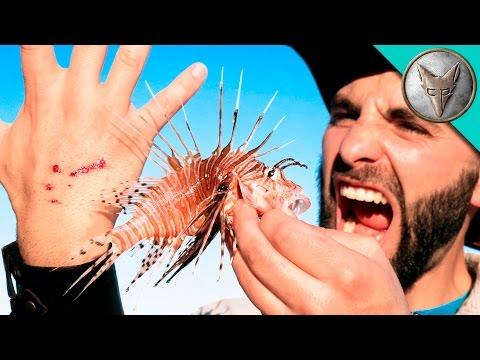 Thumbnail: STUNG by a LIONFISH!