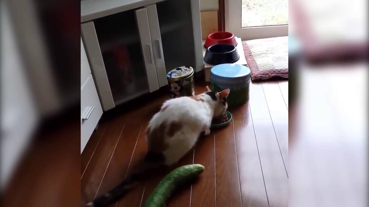Смешное видео про котов с огурцами