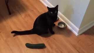 |CAT VS CUCUMBER|КОШКИ ПРОТИВ ОГУРЦОВ|СМЕШНОЕ ВИДЕО #1