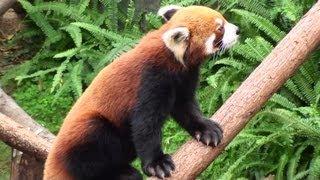Red Pandas - Ocean Park, Hong Kong 1080p HD Sony HDR-CX115