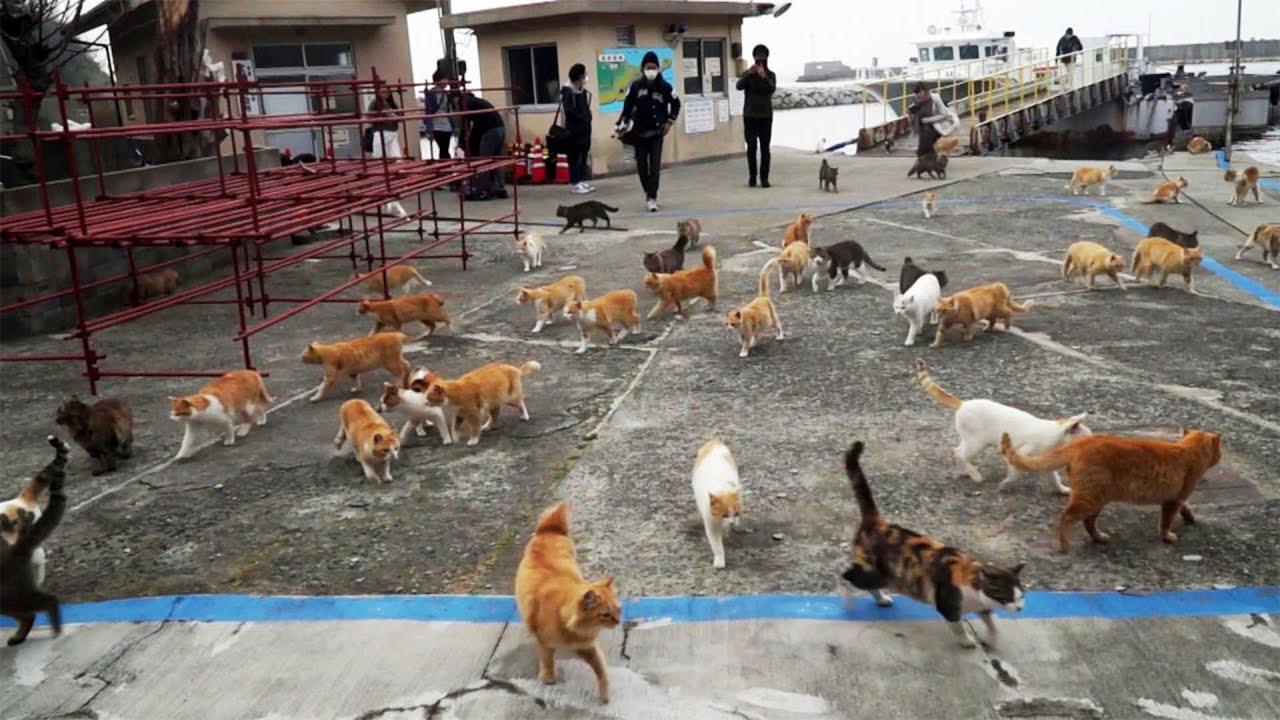 Amazing Japanese Island Full Of Cats Youtube