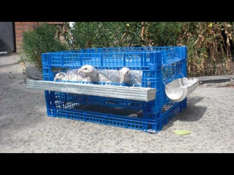 Кормление суточных цыплят в домашних условиях 58